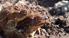 Frogs sing songs of spring Stock Footage