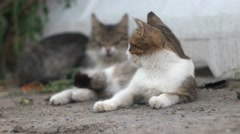 Cats lying down on ground. Portrait of the cat resting Stock Footage