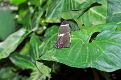 Funny Black Transandina Cattle Heart Butterfly Stock Photos