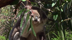 CLOSE UP: Sweet fluffy adult koala eating juicy eucalyptus leaf Stock Footage