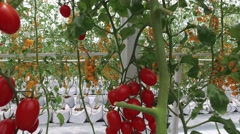 Ripe natural tomatoes growing on a branch at farm in north thailand - stock footage