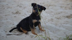 Cute puppy on wet beach sand looking into camera Stock Footage