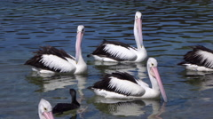 CLOSE UP: Swarm of pretty pelicans and black ducks swimming in the river Stock Footage