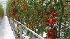 Ripe natural tomatoes growing on a branch at farm in north thailand Stock Footage