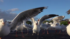 SLOW MOTION CLOSE UP: A big group of cute, curious seagulls following the camera Stock Footage