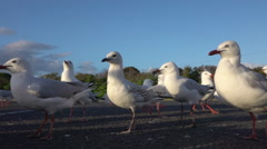 SLOW MOTION CLOSE UP: Group of cute, curious seagulls on empty parking lot Stock Footage