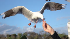SLOW MOTION MACRO: Brave seagull trying to catch a piece of bread from hand - stock footage