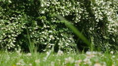 Beautiful jasmine white flowers, summer day. Flowers in the wind Stock Footage