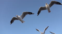 CLOSE UP: Group of cute, curious seagulls catching food while flying Stock Footage