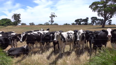 CLOSE UP: Young livestock on big farmland field in sunny summer Stock Footage