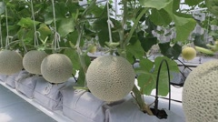 Melon fruit hanging in plant nursery in north thailand Stock Footage