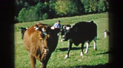 1957: Milk cows walking scenic summer green farm fields. Stock Footage