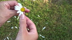 Girl hand divine future of daisy petals on grass background. 4K Stock Footage