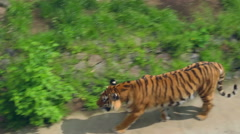 Siberian tiger in zoo. Wild tiger in aviary. Carnivore in zoological park - stock footage