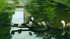 White pelicans sitting on fallen tree in middle of lake at zoological park Stock Footage