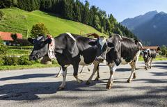 transhumance event in Charmey - stock photo