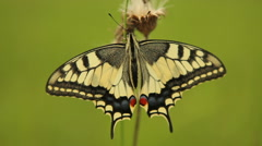Excellent Papilio machaon moving wings, swallowtail butterfly Stock Footage