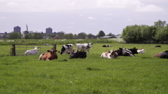 Landscape over view with Dutch cows grazing in the meadow Stock Footage
