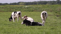 Dutch cows grazing and lounging in the meadow tele shot Stock Footage