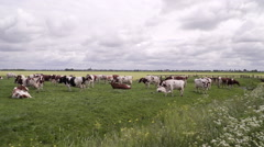 Wide shot of Dutch landscape with cows Stock Footage