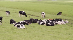 Distant shot of herd of black & white cows grazing in the meadow Stock Footage