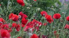 Poppy flower swing in wind cinematic b-roll Stock Footage