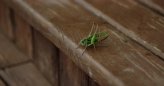 Closeup of Locust Which Cleans Mustache on the Wooden Floor - stock footage