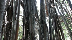 Big holy banyan close up Stock Footage