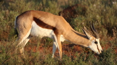 Sprinkbok gazelle feeding on grass Stock Footage