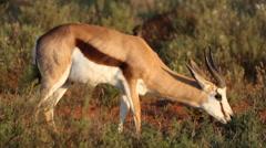 Sprinkbok gazelle feeding on grass Stock Footage