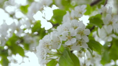 Flowering fruit tree in the garden Stock Footage