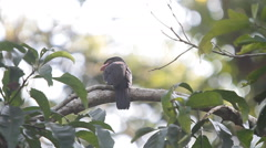 Bird,Dusky Broadbill (Corydon Sumatranus)rare birds are paired during mating Stock Footage