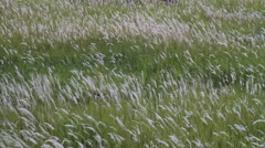 The grass flower was swaying to the wind and sun light evenings Stock Footage