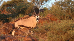 Gemsbok looking at the camera Stock Footage