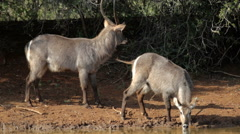 Waterbuck drinking water at a waterhole Stock Footage