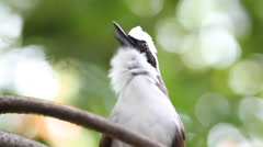 Bird white-crested Laughing Thrush(Garrulax leucolophus)standing on branch Stock Footage