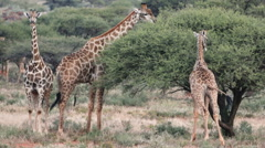 Group of giraffe feeding on an acacia tree Stock Footage