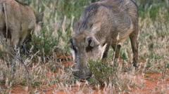 Warthog feeding on dry grass Stock Footage