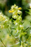 Rhinanthus Angustifolius or Greater Yellow-rattle Stock Photos