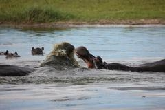 Wild Africa Botswana savannah African Hippo animal mammal Stock Photos