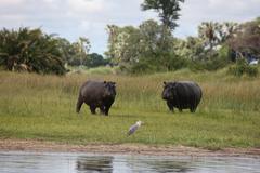 Wild Africa Botswana savannah African Hippo animal mammal - stock photo