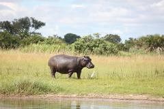 Wild Africa Botswana savannah African Hippo animal mammal - stock photo