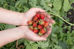 Strawberries in the palms of the crop Stock Photos