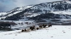 American Bison grazing Stock Footage