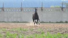 black stallion in paddock - stock footage