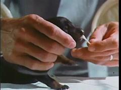 Veterinarian taking saliva sample from puppy, 1970s Stock Footage