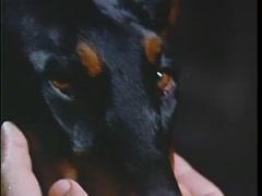 Closeup of person petting Doberman Pinscher's face, 1970s Stock Footage