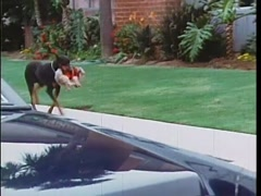 Doberman Pinscher carrying small dog into bushes, 1970s Stock Footage