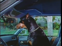 Doberman Pinscher letting himself out of car, 1970s Stock Footage