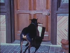 Doberman Pinscher helping take groceries into the house, 1970s Stock Footage